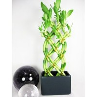 9GreenBox - Live 8 Braided Style Lucky Bamboo Plant Arrangement with Dark Blue Vase
