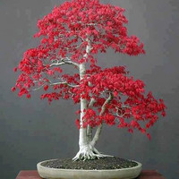 Japanese Red Maple, Bonsai Tree, Seeds, Grow Your Own