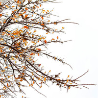 Ice Tree, Winter Icy Tree Branches - Nature Photograph, Minimal, minimalism in visual photographic art, home and office décor. Title is: 277