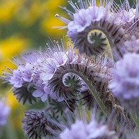 Lacy Phacelia, Wildflower, 25 Garden Flower Seeds, Attracts Bees and Butterflies