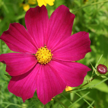 Fuchsia Cosmos ~ Made-To-Order Macro Photography Canvas & Wall Prints