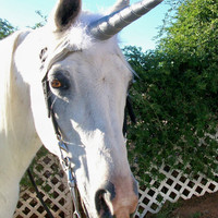 Unicorn Horn Brow Band Attachment for a Live Horse's Bridle COSTUME HORSE SIZE
