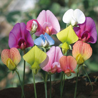 Organic Heirloom 30 Seeds Sweet Pea Lathyrus Lord Anson's Bitter Vetch Everlasting white pink red purple colours Flower Seeds LAT03