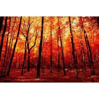 The True North ruby red autumn maple forest in october by bomobob