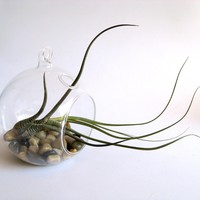 Snake airplant hanging terrarium by terradctl on Etsy